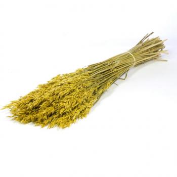 Gedroogde Haver (Avena) geel gekleurd