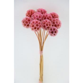 Gedroogde Scabiosa Stellata pink (gepreserveerd)
