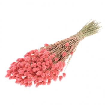 Gedroogde Phalaris gekleurd roze