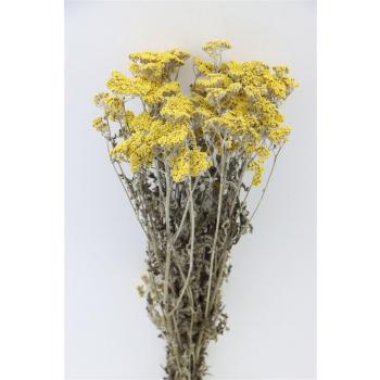 Gedroogde Achillea moonshine geel